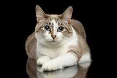 Cute White Cat, Blue eyes, Funny paws, Isolated Black Background Stock Image