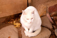 Cute white cat with brigth yellow eyes Royalty Free Stock Images