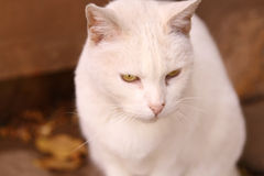 Cute white cat with brigth yellow eyes Royalty Free Stock Photos
