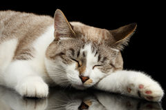 Cute White Cat with closed eyes Dreaming  Black Background Royalty Free Stock Image