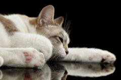 Cute White Cat with closed eyes Dreaming  Black Background Stock Image