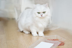 Cute white cat eating food Royalty Free Stock Photography