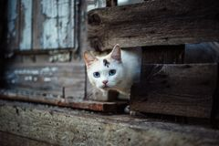 Cute white cat looking out of a hole in a wooden fence royalty free stock photos