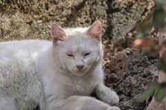 Cute white cat lying in the courtyard on a beautiful sunny day. Animal pet fur outdoor funny young fluffy furry lovely feline breed puss purr expression blue royalty free stock photos