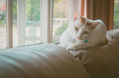 Cute white cat sitting on sofa. Soft tone, beautiful lighting Royalty Free Stock Photo