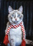 Cute white cat in striped scarf on dark background. A cute white cat in striped scarf on dark background stock photo