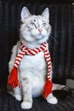 Cute white cat in striped scarf looking up close up, dark background. A cute white cat in striped scarf looking up close up, dark background royalty free stock image