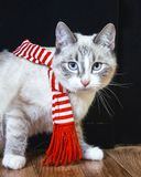 Cute white cat in striped scarf is moving by and looking at you. A cute white cat in striped scarf is moving by and looking at you stock photos