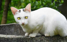Cute white cat in Thailand Royalty Free Stock Image