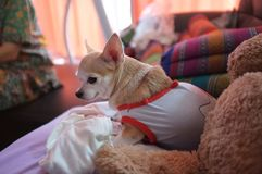 Cute white chihuahua on sofa , feeling  lonely Stock Photo