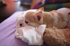 Cute white chihuahua on sofa , feeling  lonely Royalty Free Stock Photo
