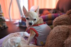 Cute white chihuahua on sofa , feeling  lonely Royalty Free Stock Images