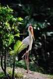Cute white crane Stock Photography