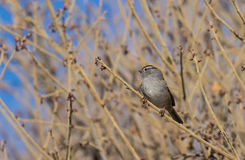 Cute White Crowned Sparrow Stock Photo