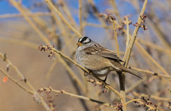 Cute White Crowned Sparrow Royalty Free Stock Photos
