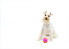 Cute White Dog with Ball. Adorable miniature schnauzer breed of dog with pink ball on white background royalty free stock photography
