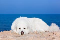Cute white dog on the beach. Polish Tatra Sheepdog. Known also as Podhalan or Owczarek Podhalanski stock image