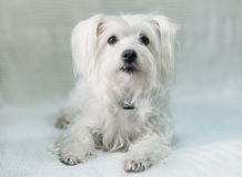 Cute white dog. Cute beautiful fluffy white dog Royalty Free Stock Photos
