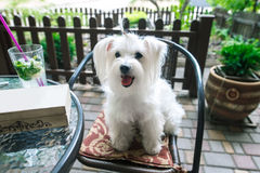 Cute white dog in cafe. Cute fluffy white dog in cafe Stock Image