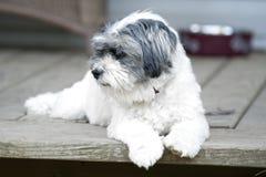 Cute white dog on doorstep Stock Image