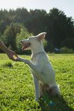 White dog is holding for hand its owner. stock photography