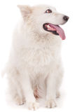Cute white dog looking sideway Stock Image