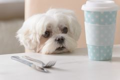 Cute dog asking for food. Cute white dog Maltese sitting on a chair at the table and begging for food Royalty Free Stock Images