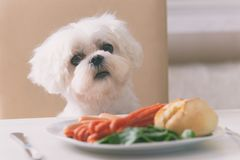 Cute dog asking for food. Cute white dog Maltese sitting on a chair at the table and begging for food like sausage which is on a plate stock image