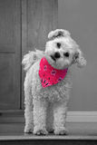 Cute white dog with cocked head wearing a pink bandana Stock Photo