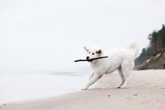 Cute white dog playing with stick on the beach. Polish Tatra Sheepdog, known also as Podhalan or Owczarek Podhalanski stock image