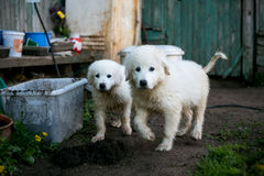 Cute white dog puppies Royalty Free Stock Photography