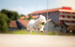 Cute white dog running with ball. In his mouth Stock Photo