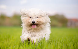 Cute white dog. Runs toward camera Stock Photos