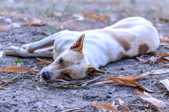 Cute white dog sleeping on ground and looking backward.  Royalty Free Stock Images