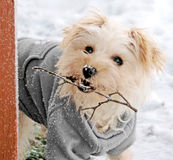 Cute White Dog with Snowy Twig. Adorable white lap dog wearing gray sweater with snow on her nose carrying a snowy branch in her mouth stock photo