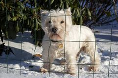 Cute white dog standing on snow. Behind net on a sunny day. Domestic friendly hairy companion royalty free stock photos