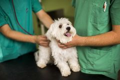 Cute white dog at veterinarian. Exam with female owner Stock Photos