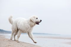 Cute white dog walking on the beach. Royalty Free Stock Images