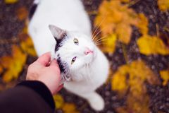 Cute white domestic cat being pet. From above Stock Photos