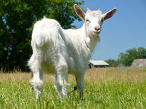 Cute white domestic goat Stock Photography