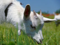 Cute white domestic goat. Closeup Royalty Free Stock Image