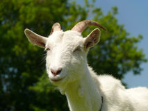 Cute white domestic goat. Closeup Stock Images