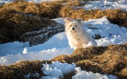 Cute white domestic terrier dog in a snowy field royalty free stock photography