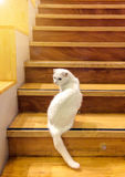 Cute White Fluffy Cat with Different Color Blue and Yellow Eyes Sit and Look Back from Wooden Stair with Orange Sun Light Shade at Stock Image