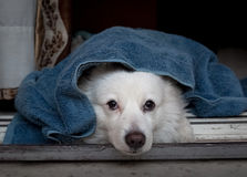 Cute white furry dog under a blue blanket lying idly and staring near the doorway. Cute white German spitz dog under a blue blanket lying idly and staring near Stock Images
