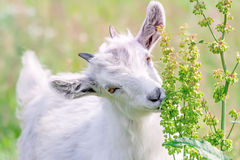 Cute white goat kid Stock Images