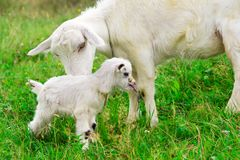 Cute white goat kid with mother goat Stock Images