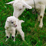 Cute white goat kid with mother goat Stock Photography