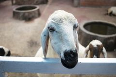 Cute white goat, lovely, Animal Royalty Free Stock Photos
