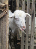 Cute white goat peeping from behind the fence Royalty Free Stock Image